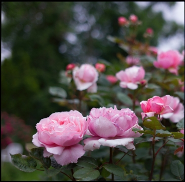Website-L1212105-#moments #color #roses #hansmartindoelz